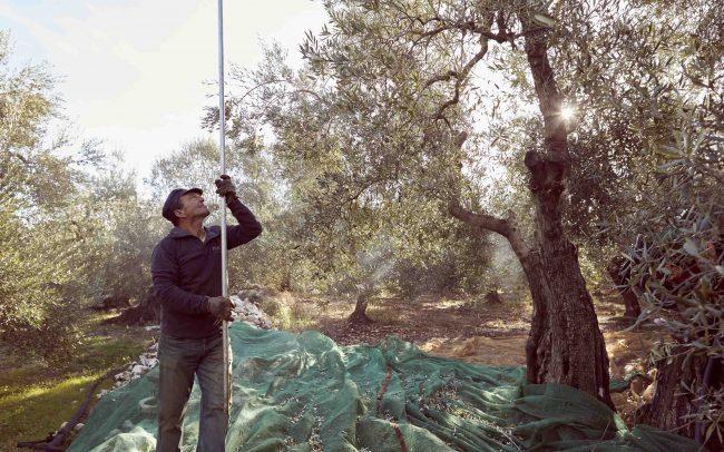 Anne_Moldenhauer_Reportage_Olive Harvest