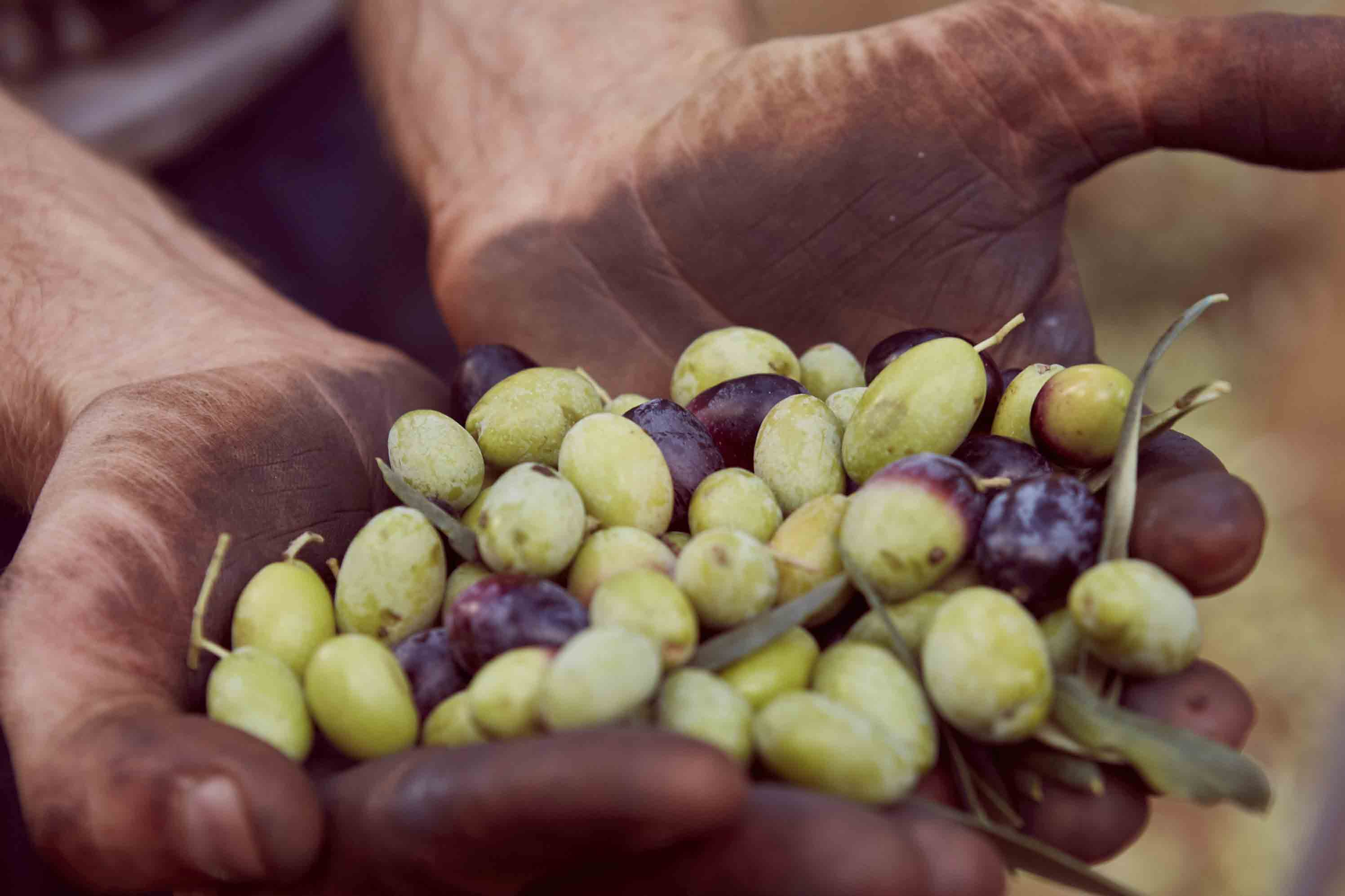 Anne_Moldenhauer_Reportage_Olive Harvest